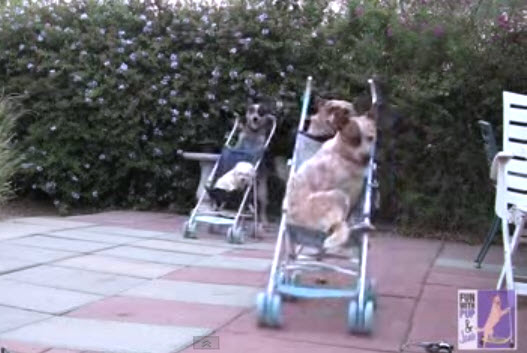 Video gracioso: Estos perritos son bastante competitivos