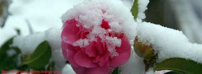 Photo de couverture journal facebook rose neige 1