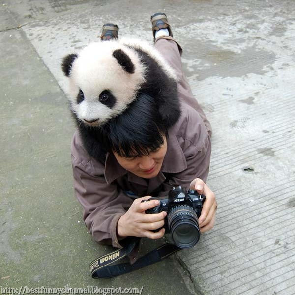 Cute and funny pictures of animals 29 pandas 2 funny pandas voltagebd Image collections