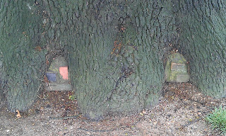 Quercus robur - Oak Tree Brockwell Park Bricked Up