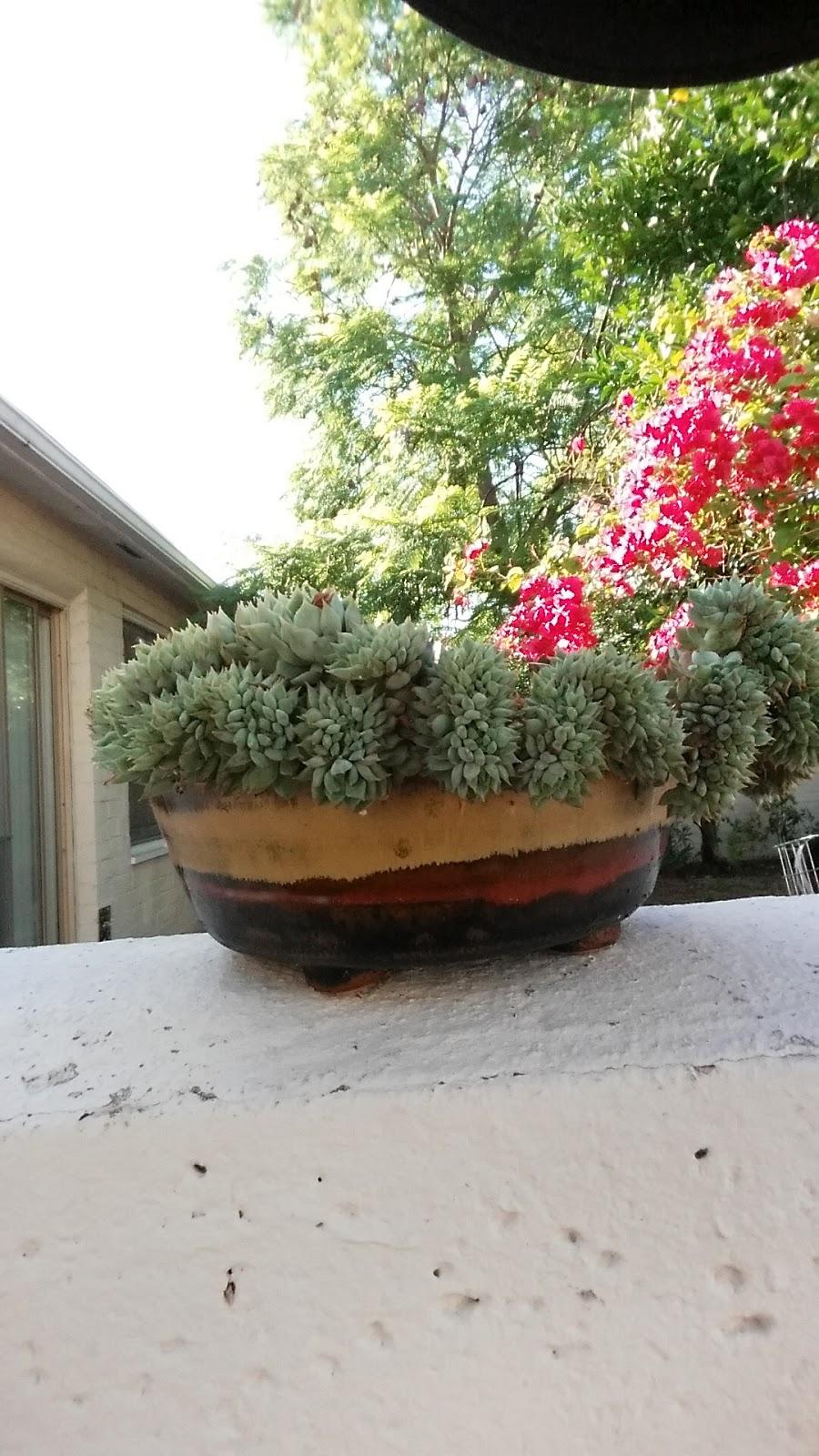 crested Echeveria