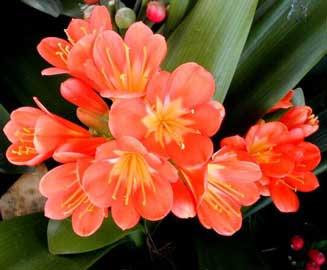 clivia-miniata-flores ESTAS SON LAS FLORES DE SUDAFRICA