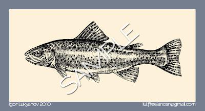 dessin illustration d une truite arc-en-ciel