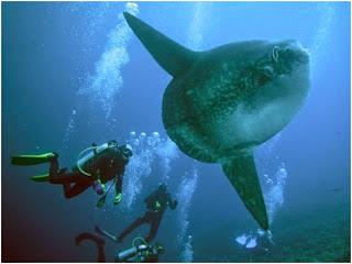 Diving Mola-Mola in Bali's Nusa Penida