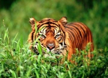 hewan langka indonesia harimau sumatera