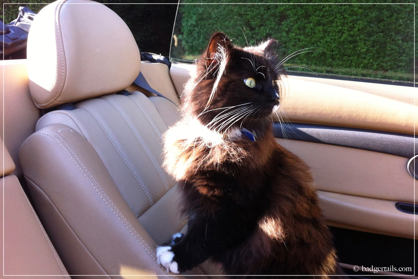 black cat in convertible car in summer
