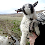 Next Knitting tour: Icelandic Spring Knitting: lambs, kids and lopi 8-12 .05.2013