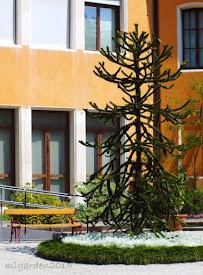 Monkey Puzzle Tree  - Italy