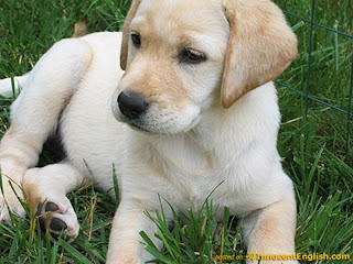 White Labrador Cool Puppy pictures