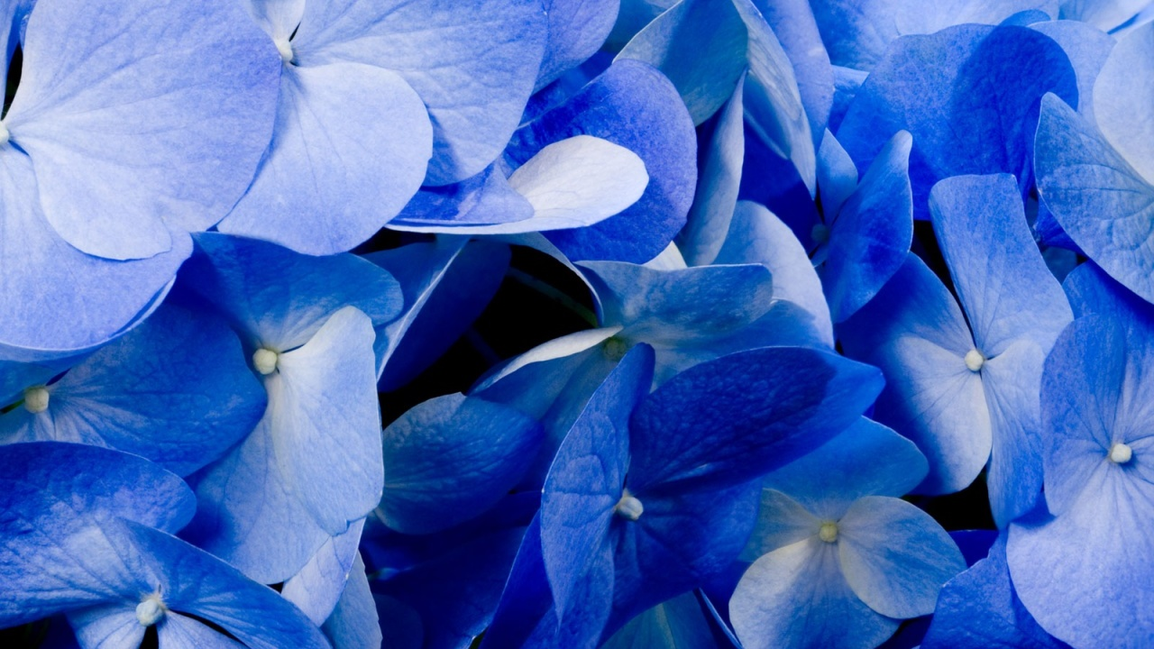 Desktop Wallpaper Wallpaper Hydrangea Resolutions X Hd Desktop