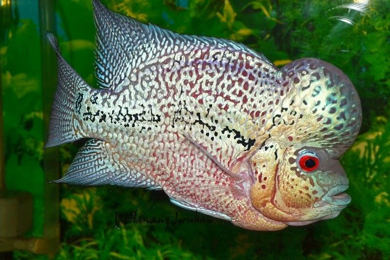 jual ikan lohan