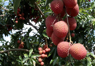 How to Growing Lychees For Business | Lychees Farming Business