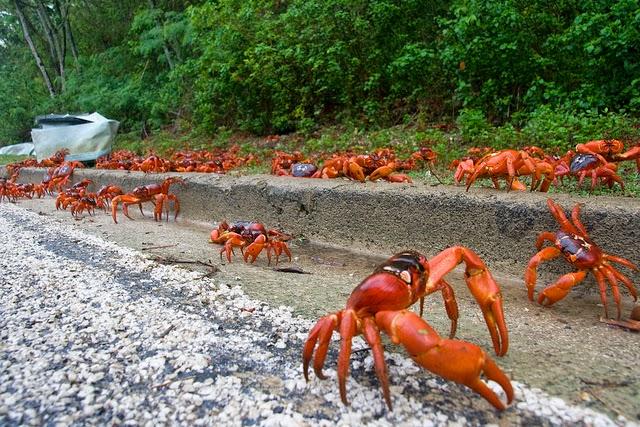 Migración de los cangrejos rojos – Australia