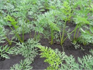 1 июля, морковка подрастает