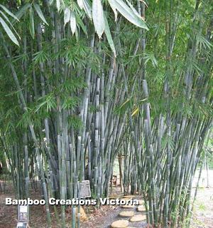 Bamboo plants melbourne - Bambusa chungii barbelletta