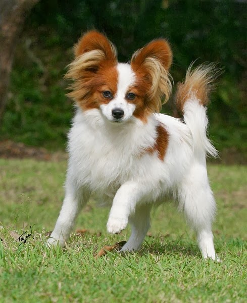 Picture of Papillon the 8th smartest dog in the world