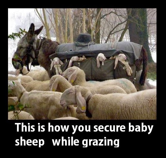 Securing Baby Sheep With Donkeys