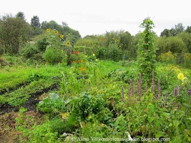 аленин сад, часть3, до, после, участок, дача, освоение участка, целина, сад, огород, пирамида из фасоли, подсолнухи, грядки