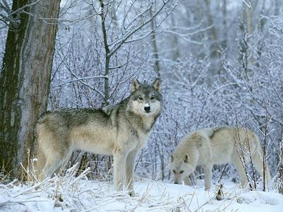 imagini haita cu lupi