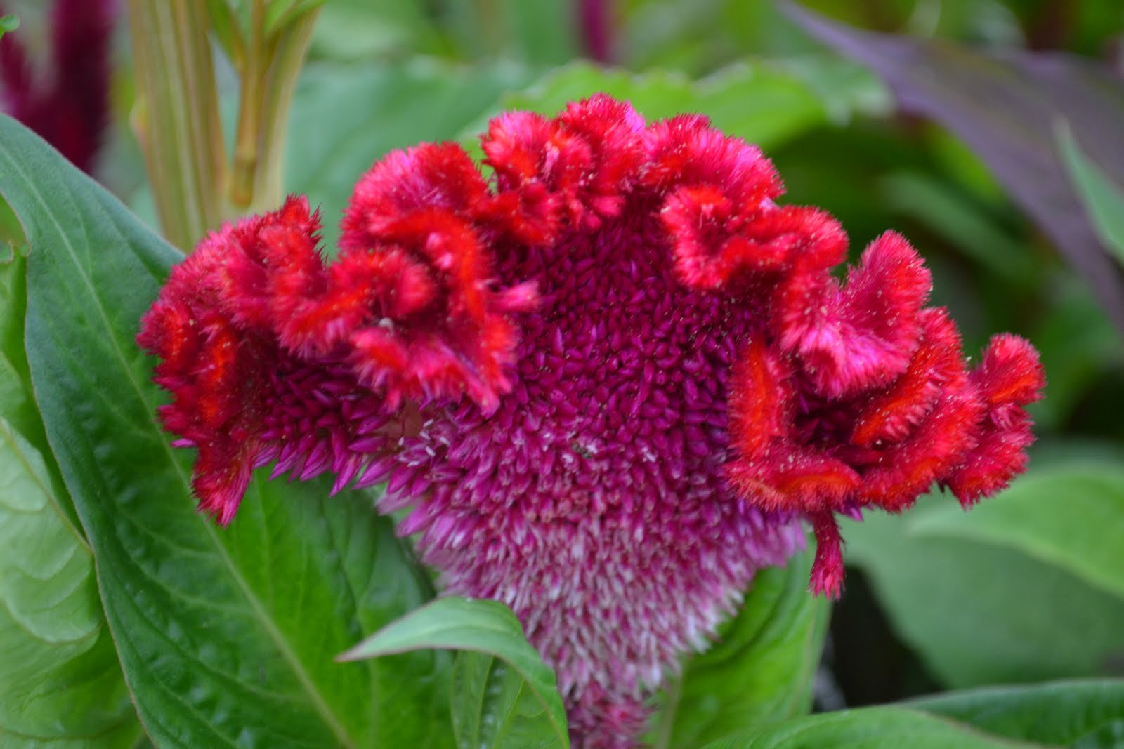 My Country Roads Wild and Wonderful Celosia or Cocks b Flower