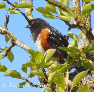 Spotted towhee 01