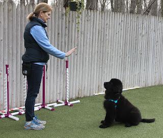 Training a Newfoundland puppy