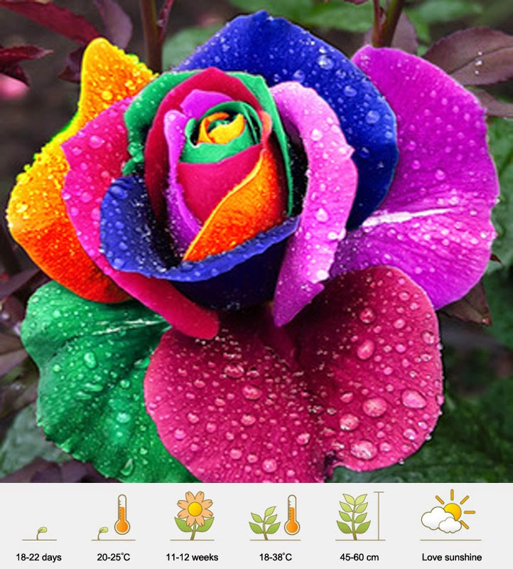 Jual Bibit Mawar Pelangi - Rainbow Rose - Murah