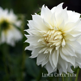 Snowbound, a gorgeous formal decorative dahlia