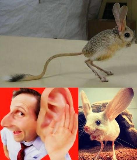 Jerboa - o rato mais diferente do mundo.jpg - Foto: Reprodução/ Buzzfeed - Montagem: Risosnaweb.com