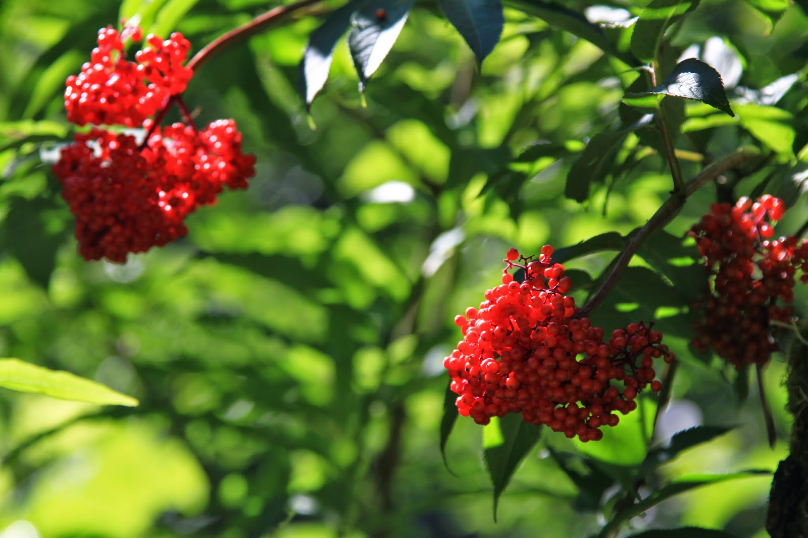 Sambucus racemosa (Red Elderberry)