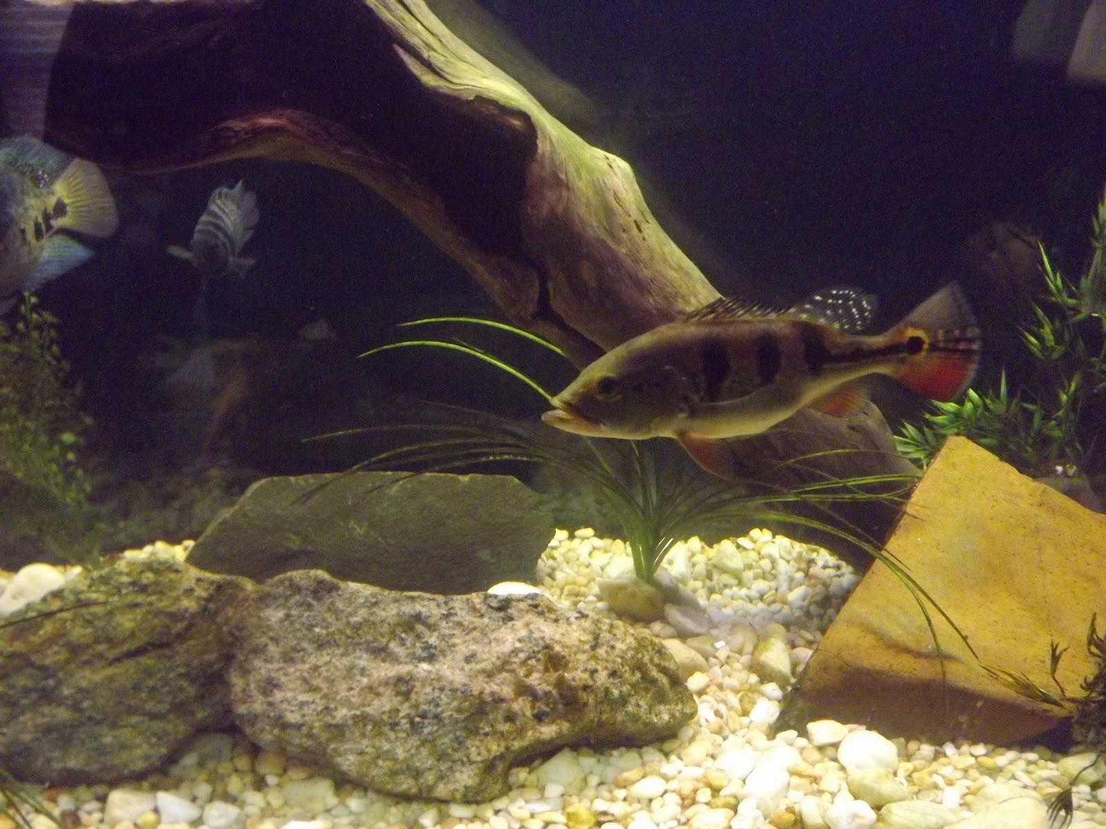 Aquatic friends predatory fish for Predatory freshwater fish