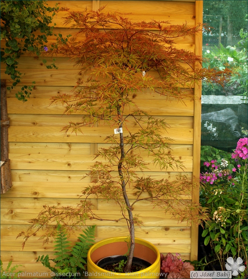 Acer palmatum dissectum 'Baldsmith' -  Klon palmowy 'Baldsmith' pokrój