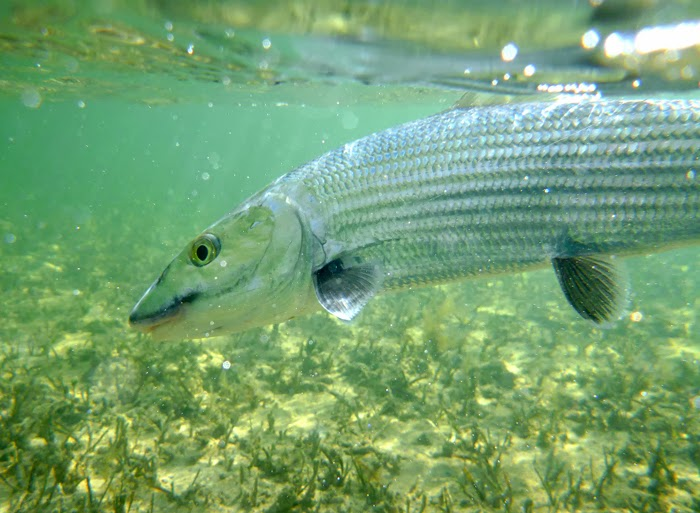 underwater photo of Abaco bonefish, Bahamas