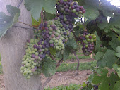 Veraison in Niagara