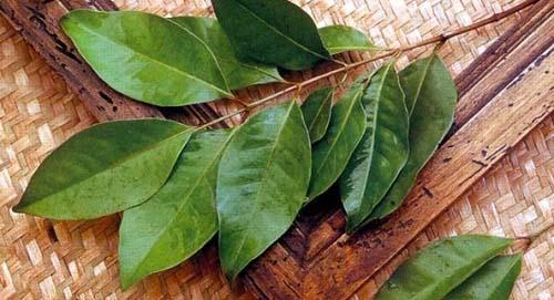 khasiat dan ramuan daun salam