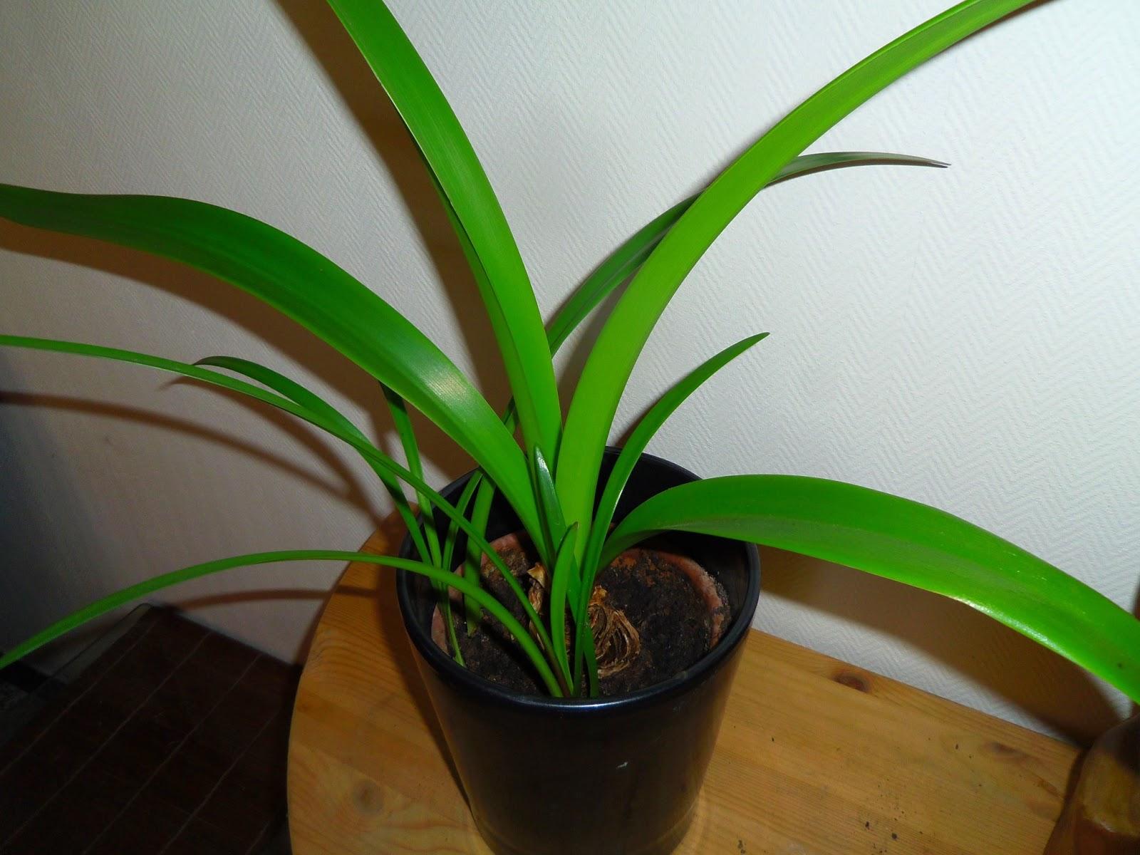 Blandinde fait son blog aux petits soins pour mes plantes for Arrosage amaryllis pendant la floraison