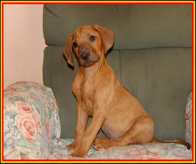 Cachorro Rhodesian Ridgeback de La Muela de Cortes