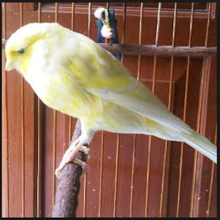 Burung Kenari - Solusi Penangkaran Burung Kenari -  Kode Ring Kenari Import Pada Negara Portugal
