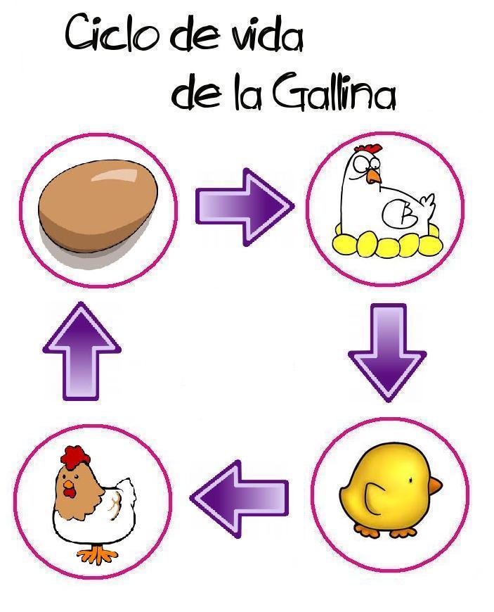 El Ciclo De Vida De La Gallina