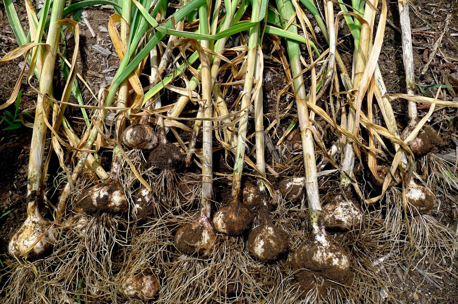 Curing Garlic, urban farming