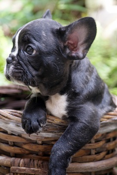Health Problems in French Bulldogs