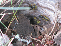 wasps guard nest entrance