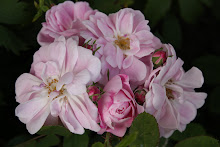 &#39;Geschwinds Nordlandrose&#39;
