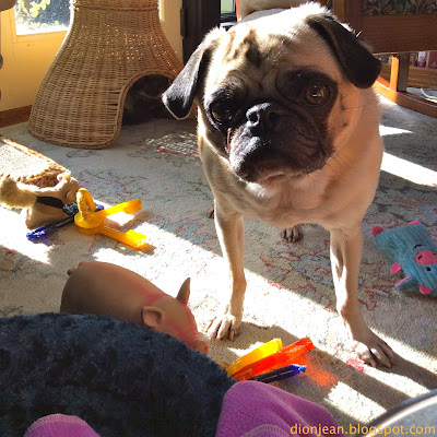 Pug surrounded by his dog toys