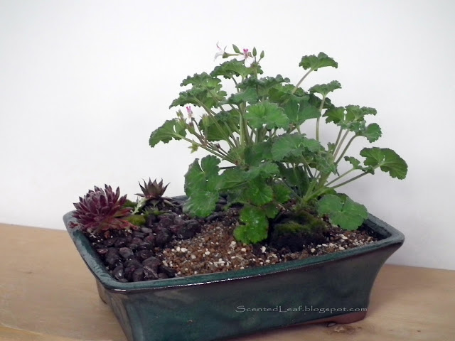 Fruit-scented miniature garden with Tutti- Fruity scented pelargonium / geranium