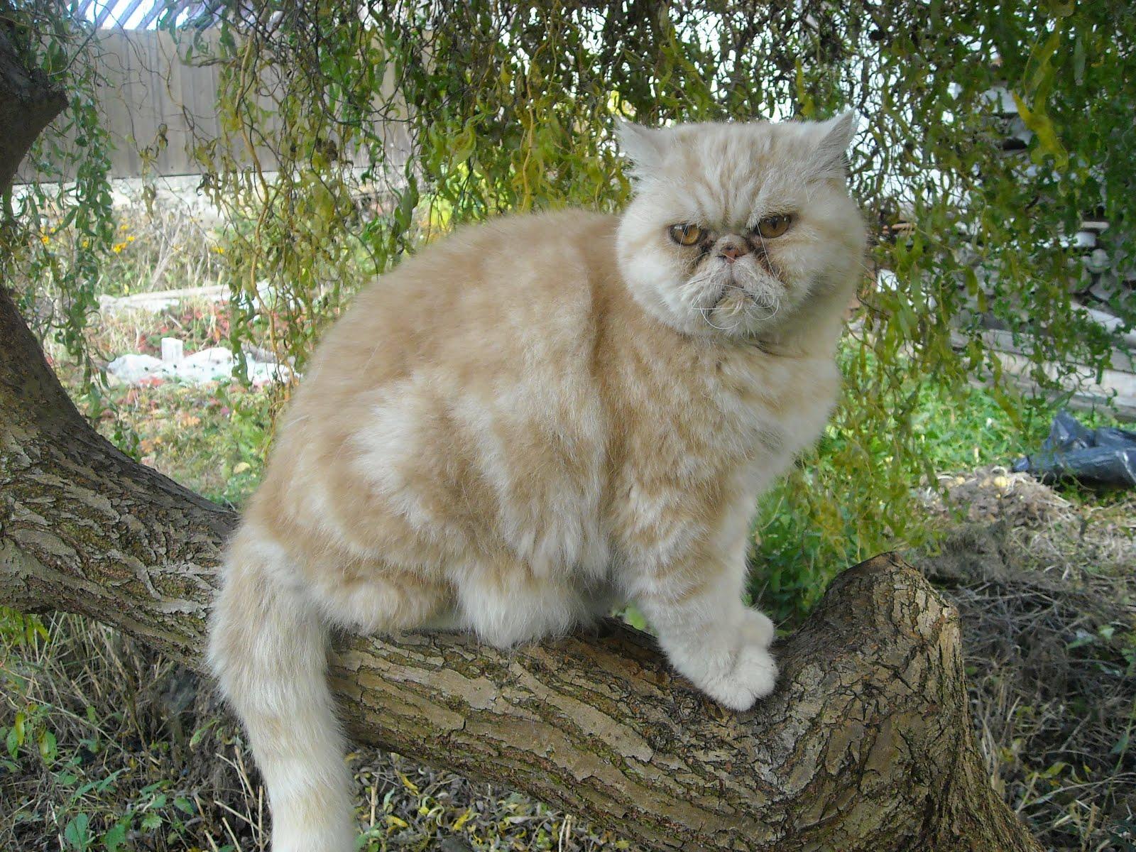 Perská kočka a my lidé