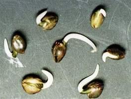 Filizlendirmeye hazır marijuana tohumu