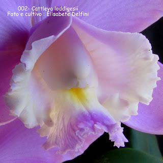 Cattleya loddigesii do blogdabeteorquideas