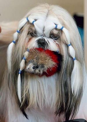 Shih+tzu+dog+pictures