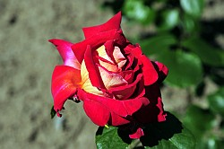 Image Result For Rosa Eterna Color
